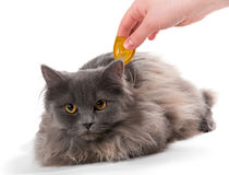 Protect the cat from ticks and fleas Stock Image
