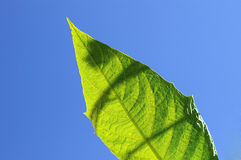 Protect the nature. Healthy leaf on a blue sky with shade, eco enviroment Royalty Free Stock Photography