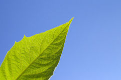 Protect the nature. Healthy leaf on a blue sky, eco enviroment Stock Photo