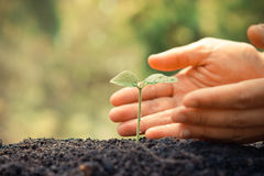 Protect nature. Hands of farmer growing and nurturing tree growing on fertile soil with green and yellow bokeh background / nurturing baby plant / protect nature Royalty Free Stock Image