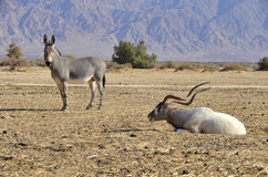 Protected animals in Hai-Bar reservation, Eilat Royalty Free Stock Photos