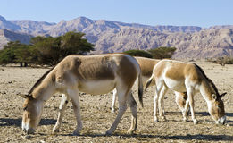 Protected animals in Hai-Bar reservation, Eilat Stock Photos