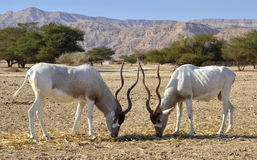 Protected animals in Hai-Bar reservation, Eilat Stock Photography