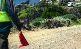 Protected Baboons on the way to Cape Point Stock Photography