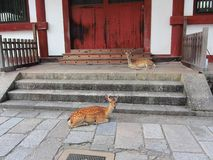 Protected deers in Nara, Japan Stock Photo
