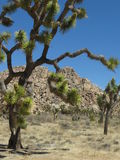 Protected Desert Trees. Close-up of the twisted Joshua Trees in California Stock Photo