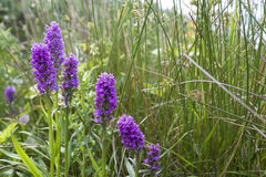 Protected Marsh Orchids Royalty Free Stock Photos