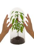 Protected plant species. Under a glass bell with woman hands - isolated royalty free stock images