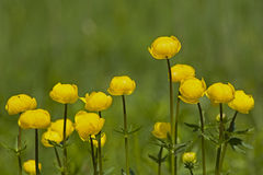 Protected trollius Stock Photos