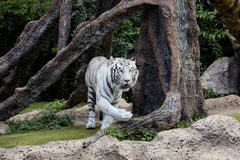 Protected white tiger in the wilderness. Now very rare outside of zoos, the endangered big cat is hunted for its highly prized fur royalty free stock photo