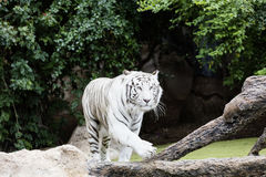 Protected white tiger in the wilderness. Now very rare outside of zoos, the endangered big cat is hunted for its highly prized fur stock images