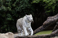 Protected white tiger in the wilderness. Now very rare outside of zoos, the endangered big cat is hunted for its highly prized fur royalty free stock photos
