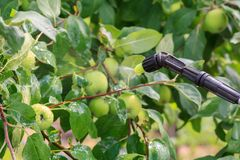 Protecting apple tree from fungal disease or vermin by pressure sprayer with chemicals. Apple tree is protected from fungal disease or vermin by pressure sprayer stock image