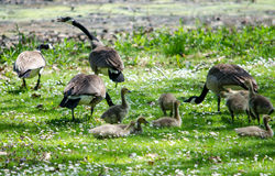 Protecting Baby geese in dasies Royalty Free Stock Photography