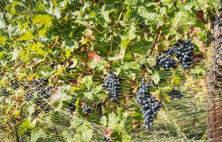 Protecting the grapes Stock Images