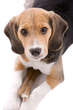 Protecting my food. Cute puppy beagle watching over it's bone on white background Royalty Free Stock Image