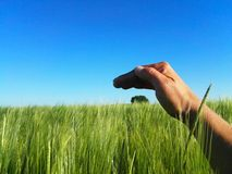 Protecting nature. One hand shrouds the only tree on the horizon between the sky and the wheat field Stock Photos