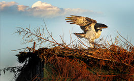 Protecting the Nest #1 Royalty Free Stock Photo
