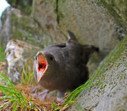 Protecting nest and self-defense. Fulmar spits smelly caustic orange blubber in eyes of predator. Stock Photo