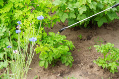 Protecting potatoes plants from fungal disease or vermin with pr. Essure sprayer in the garden Stock Photos