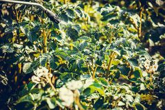 Protecting potatoes spray. Hand spray. Spraying potato plants with insecticide in garden Stock Photography
