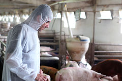 Protection Against Contamination. Veterinarian doctor wearing protective suit and examining animals health Stock Images