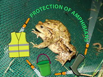 Protection of amphibians Royalty Free Stock Image