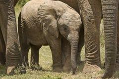 Protection d'éléphant Images stock