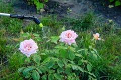 Protection d'un buisson des roses contre la vermine avec le pulvérisateur de pression photos libres de droits