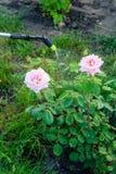 Protection d'un buisson des roses contre la vermine avec le pulvérisateur de pression photo stock