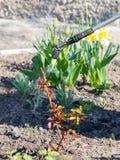 Protection d'un buisson des roses contre la vermine par le pulvérisateur de pression avec photos libres de droits