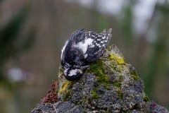 Protection de l'environnement d'oiseau mort de pivert Image stock