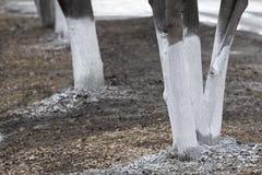 Protection des troncs d'arbre au printemps images stock
