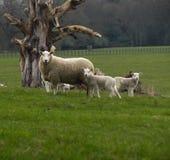 Protection du troupeau Image libre de droits