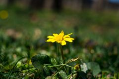 Protection of the earth concept - one yellow flower buttercup close up in thickets of green grass, sunny summer day, selective royalty free stock images