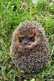 Protection of a hedgehog Royalty Free Stock Photos