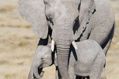 Protection, a mother elephant tucks her baby elephant safely under her trunk royalty free stock photos