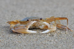 Protection Of A Small Crab Royalty Free Stock Image