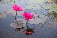 Protections de lis et fleur de lotus Photographie stock libre de droits