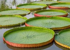 Protections de lis majestueuses d'Amazone en Asie tropicale (Victoria Regia) Photographie stock libre de droits