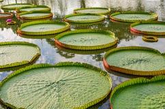 Protections de lis majestueuses d'Amazone en Asie tropicale (Victoria Regia) Photographie stock