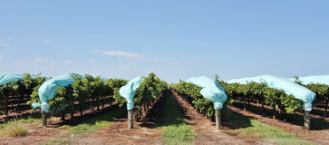 Protective Blue Plastic Covers Over Rows Of Vines. Stock Images