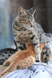 Protective cat Stock Images