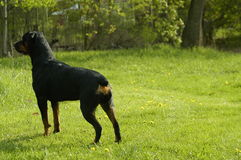 Protective dog. Guard dog protecting family property stock images