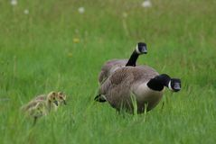 Protective Goose Parents with Young Goslings Stock Images