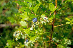 Protective mesh covering blueberries Stock Images