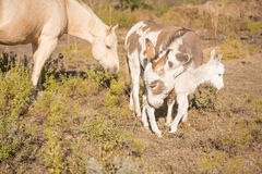 Protective mother miniature donkey Stock Photo