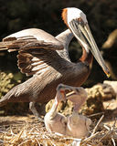 Protective mother Pelican with young. Mother brown Pelican watches everything around her as she guards her loud squabbling chicks Royalty Free Stock Photography