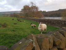 Protective Mother Sheep. Lambing season at Horse Coppice resevoir Stock Images