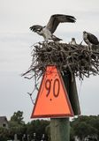 Protective Osprey Parents on Nest. Every year, this pair of ospreys nest on day marker 90, along the intracoastal waterway in Hampstead, North Carolina Stock Photos